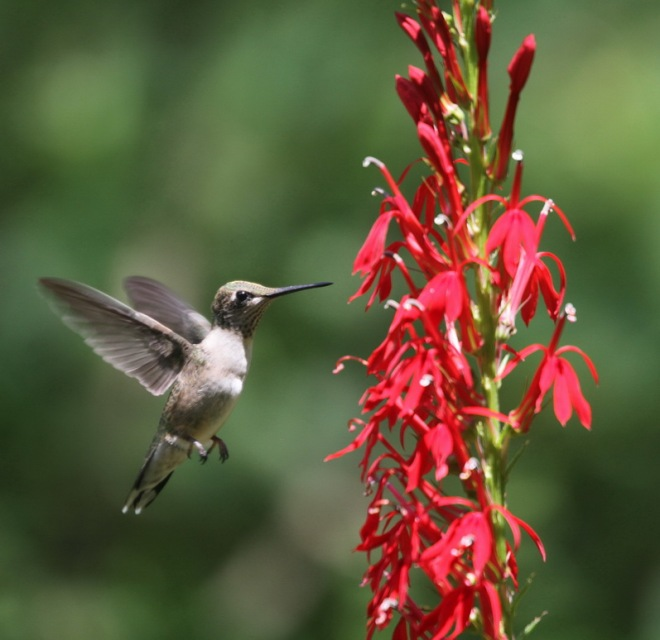hummingbird, cardinal flower, louisiana plants, black bayou lake, monroe louisiana