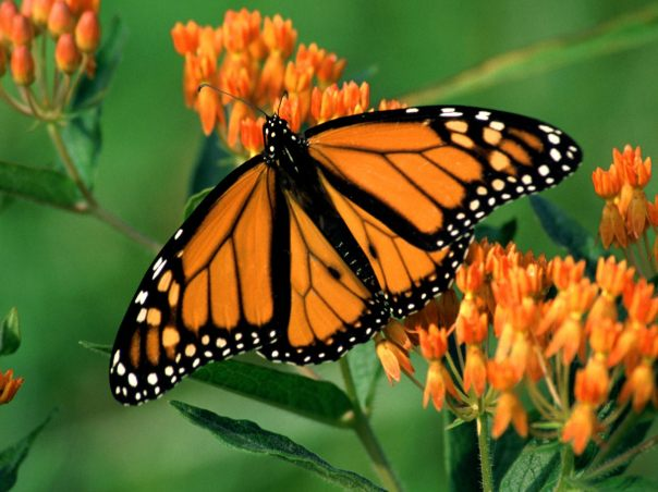 monarch butterfly, spring planting, black bayou lake, monroe louisiana