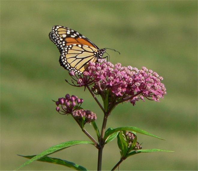 monarch butterfly, swamp milkweed, milkweed, louisiana plants, black bayou lake, monroe louisiana