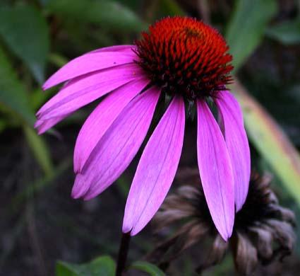 purple coneflower, louisiana native plants, black bayou lake, monroe louisiana