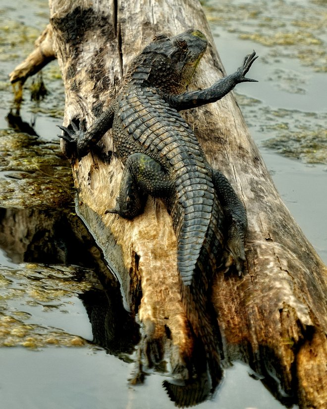 An alligator, one of the many animals found at Black Bayou Lake NWR