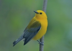 Prothonotary Warbler, photo credit Ed Schneider