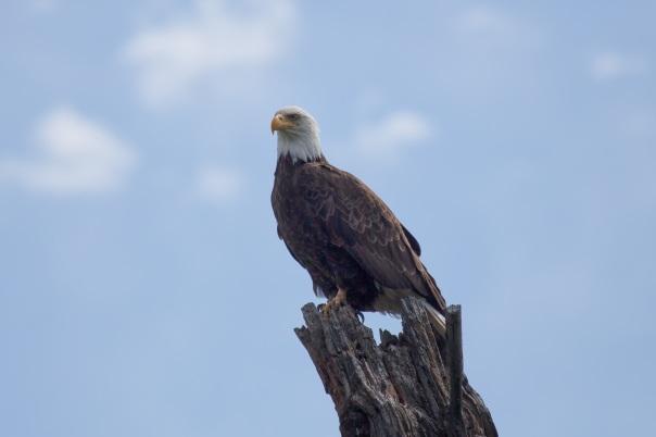 Bald Eagle, Earth Day, Black Bayou Lake