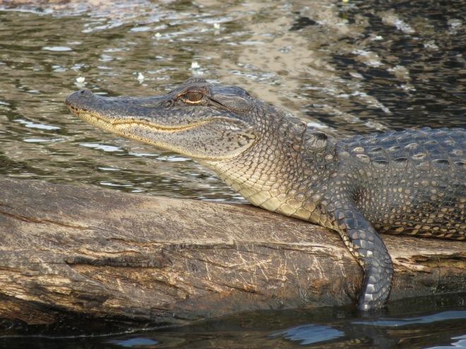 bayou, gator, alligator, photo contest, monroe louisiana